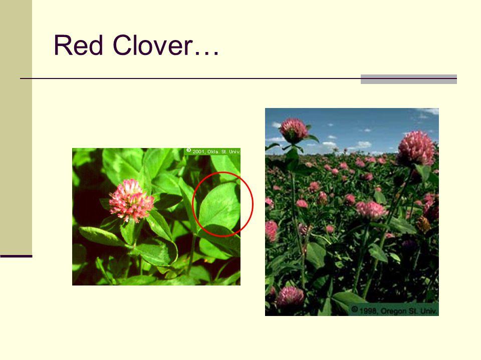 Red Clover… V-shaped water mark on leaf