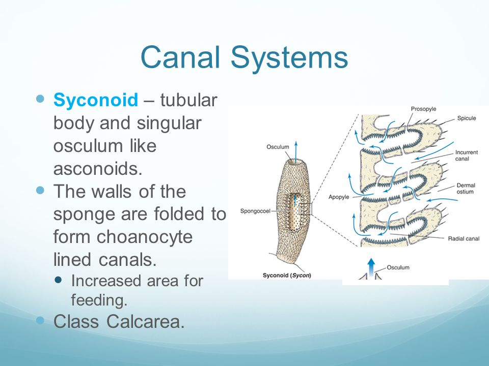 Canal Systems Syconoid – tubular body and singular osculum like asconoids. The walls of the sponge are folded to form choanocyte lined canals.