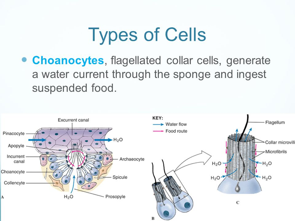 Types of Cells Choanocytes, flagellated collar cells, generate a water current through the sponge and ingest suspended food.