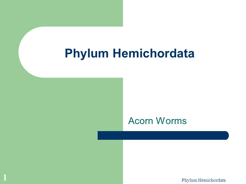 Phylum Hemichordata Acorn Worms Phylum Hemichordata