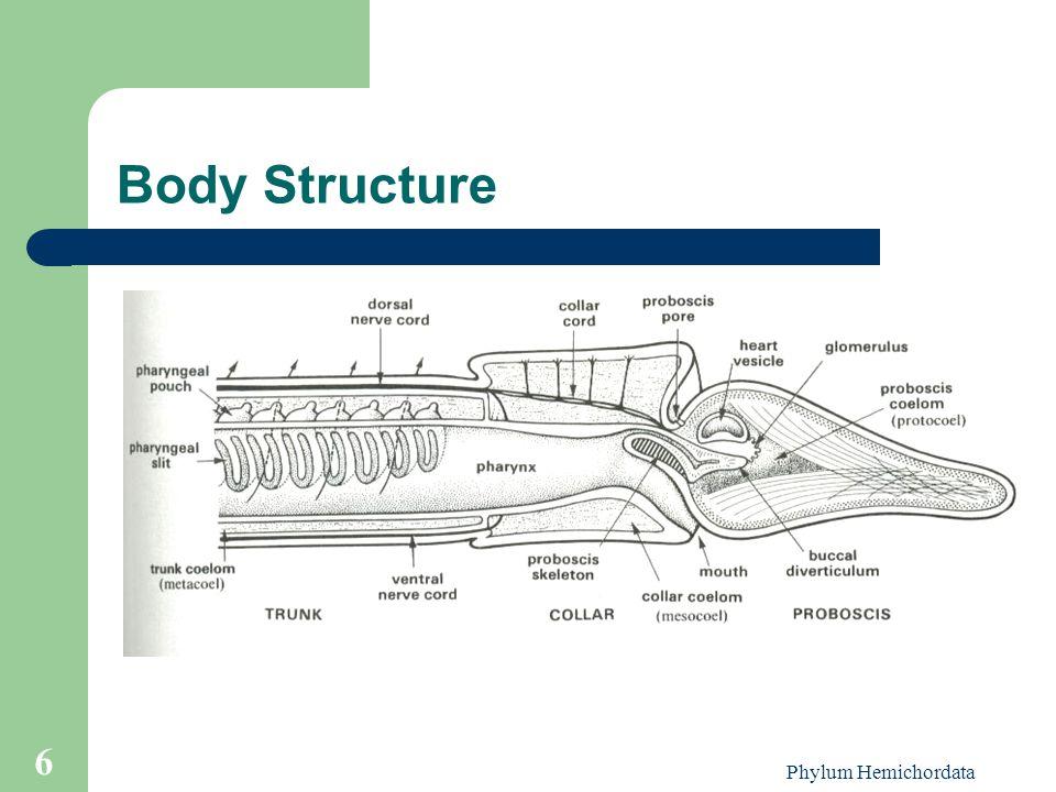 Body Structure Phylum Hemichordata