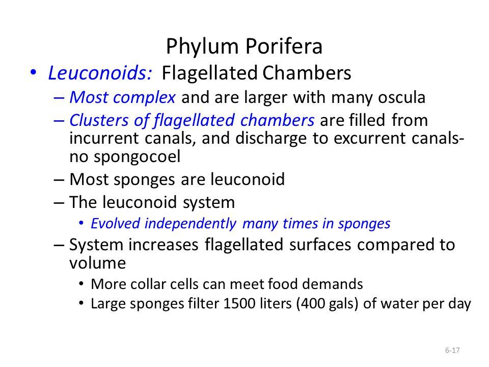 Phylum Porifera Leuconoids: Flagellated Chambers