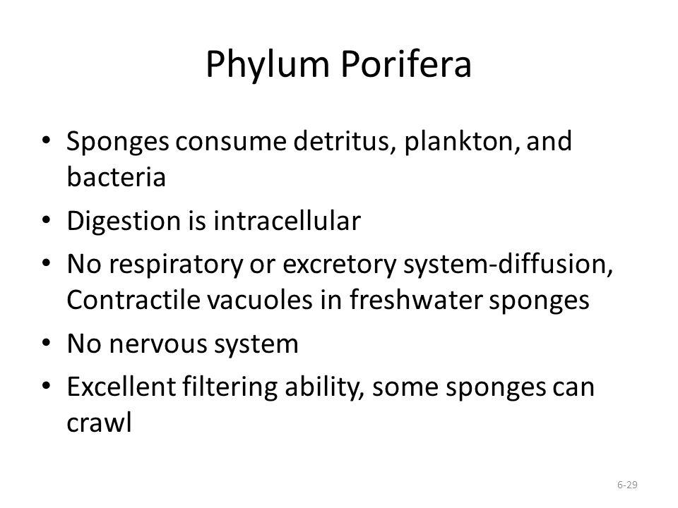 Phylum Porifera Sponges consume detritus, plankton, and bacteria