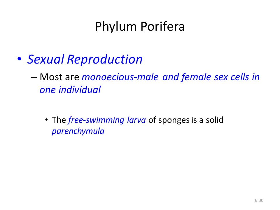 Phylum Porifera Sexual Reproduction