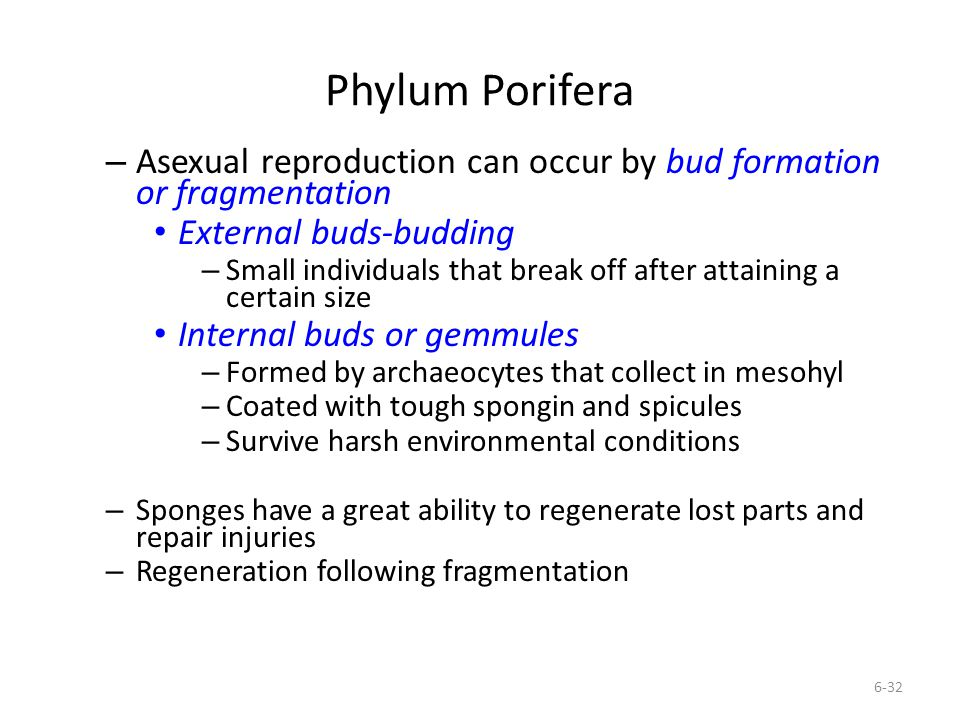 Phylum Porifera Asexual reproduction can occur by bud formation or fragmentation. External buds-budding.