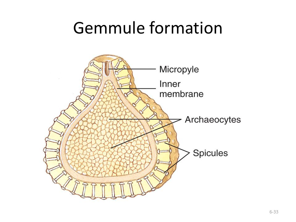 Gemmule formation