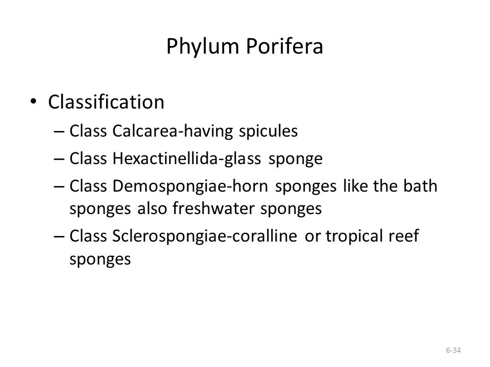 Phylum Porifera Classification Class Calcarea-having spicules