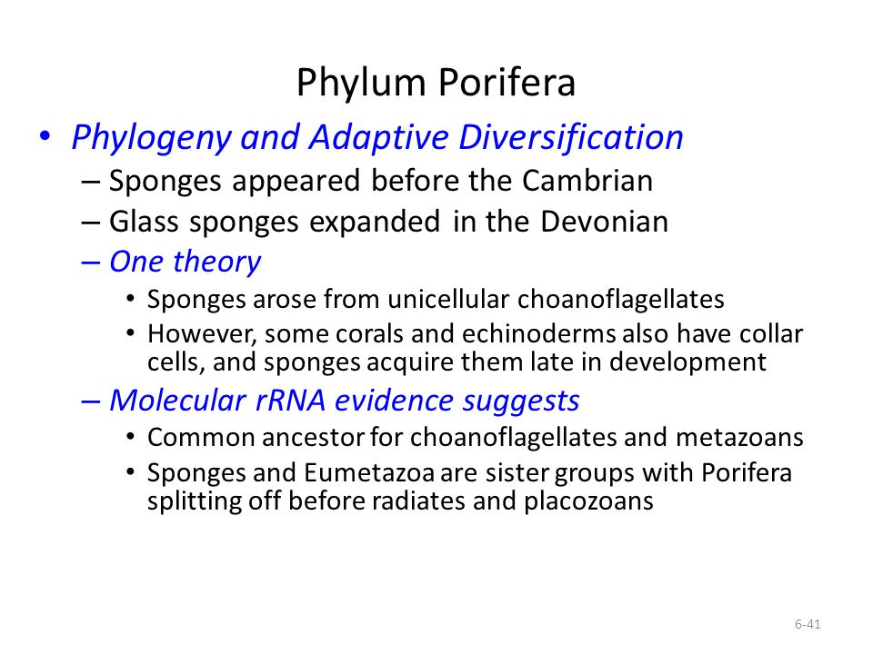 Phylum Porifera Phylogeny and Adaptive Diversification