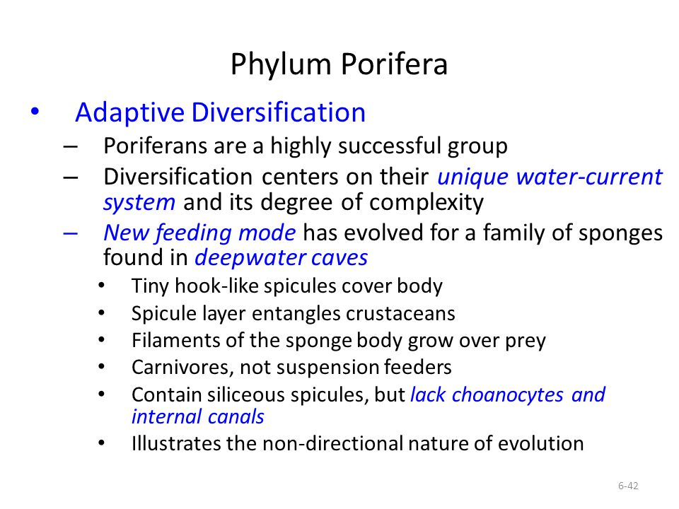 Phylum Porifera Adaptive Diversification