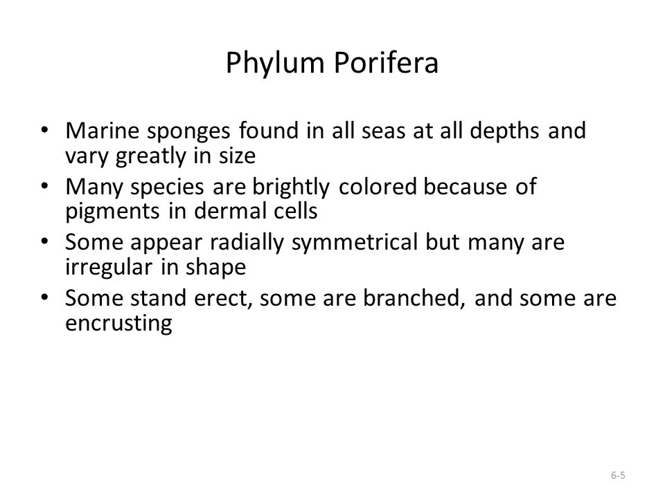 Phylum Porifera Marine sponges found in all seas at all depths and vary greatly in size.