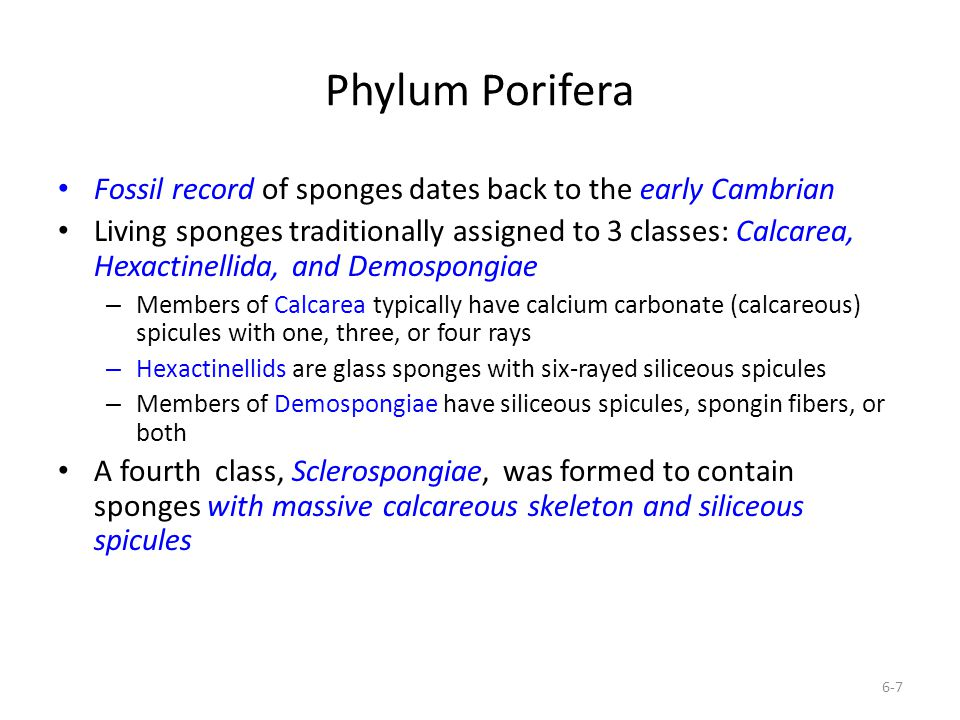 Phylum Porifera Fossil record of sponges dates back to the early Cambrian.