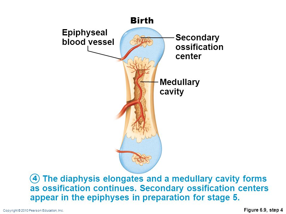 Epiphyseal blood vessel Secondary ossification center