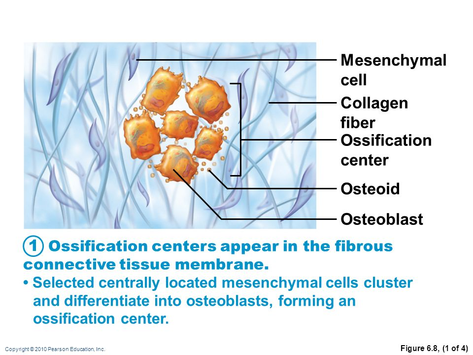 Mesenchymal cell Collagen fiber Ossification center Osteoid Osteoblast