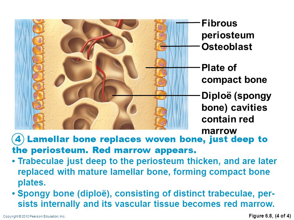 Diploë (spongy bone) cavities contain red marrow