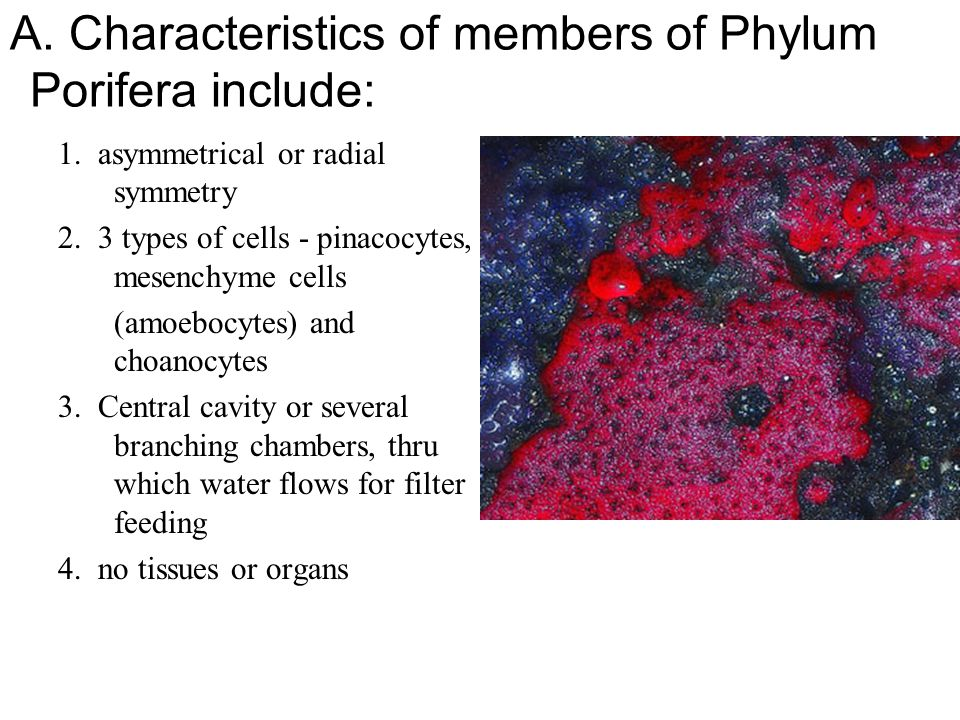 A. Characteristics of members of Phylum Porifera include: