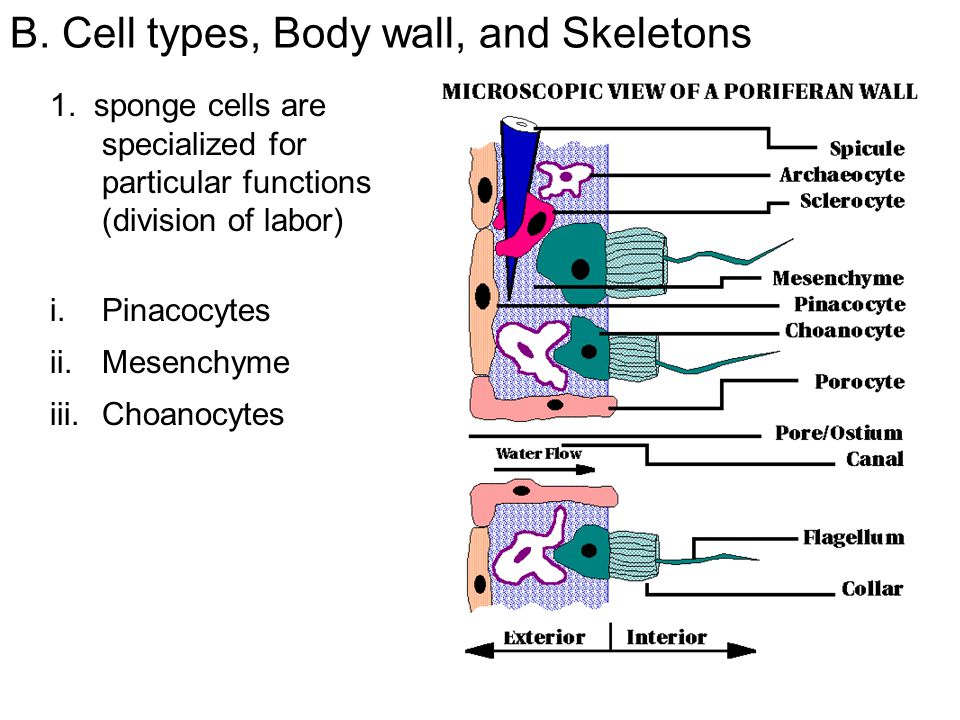 B. Cell types, Body wall, and Skeletons