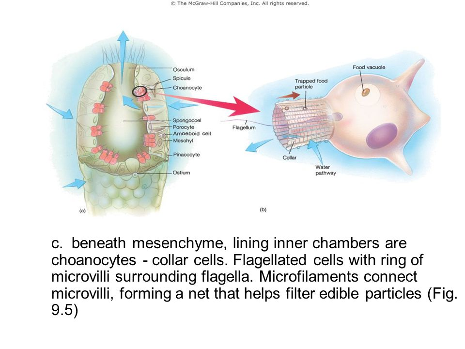 a. pinacocytes - flat, thin cells that line the outer surface of a sponge. Pinacocytes may be slightly contractile and help sponge change shape. Some pinacocytes specialized into porocytes, which regulate water circulation (fig. 9.5)