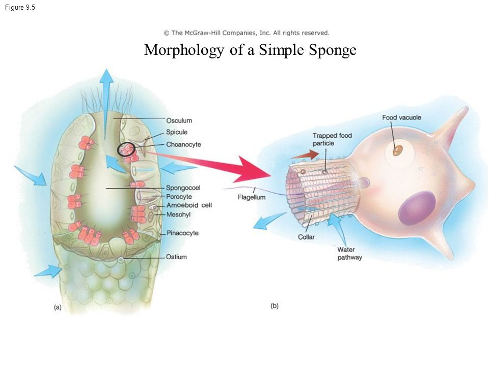Morphology of a Simple Sponge