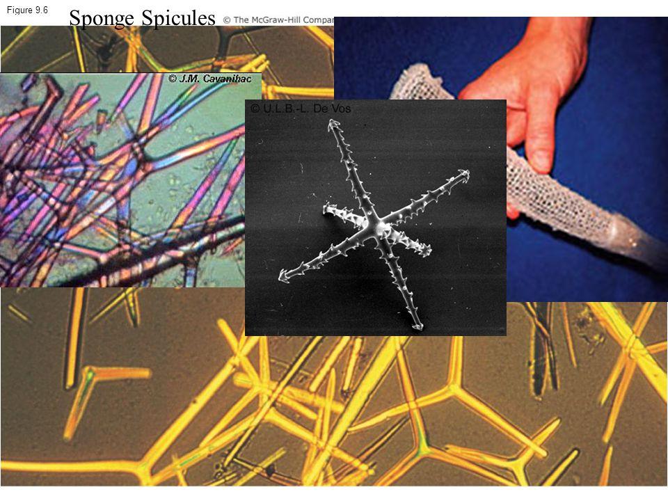 Figure 9.6 Sponge Spicules