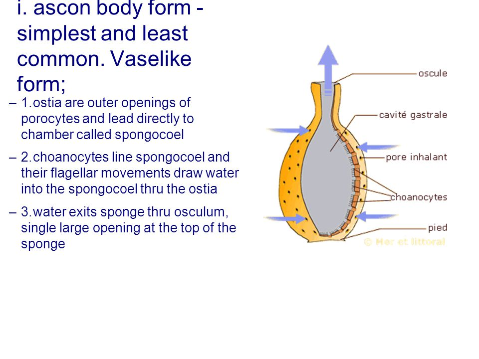 i. ascon body form - simplest and least common. Vaselike form;