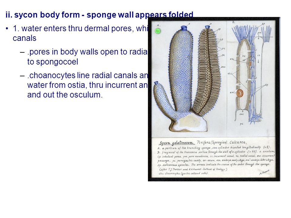 ii. sycon body form - sponge wall appears folded