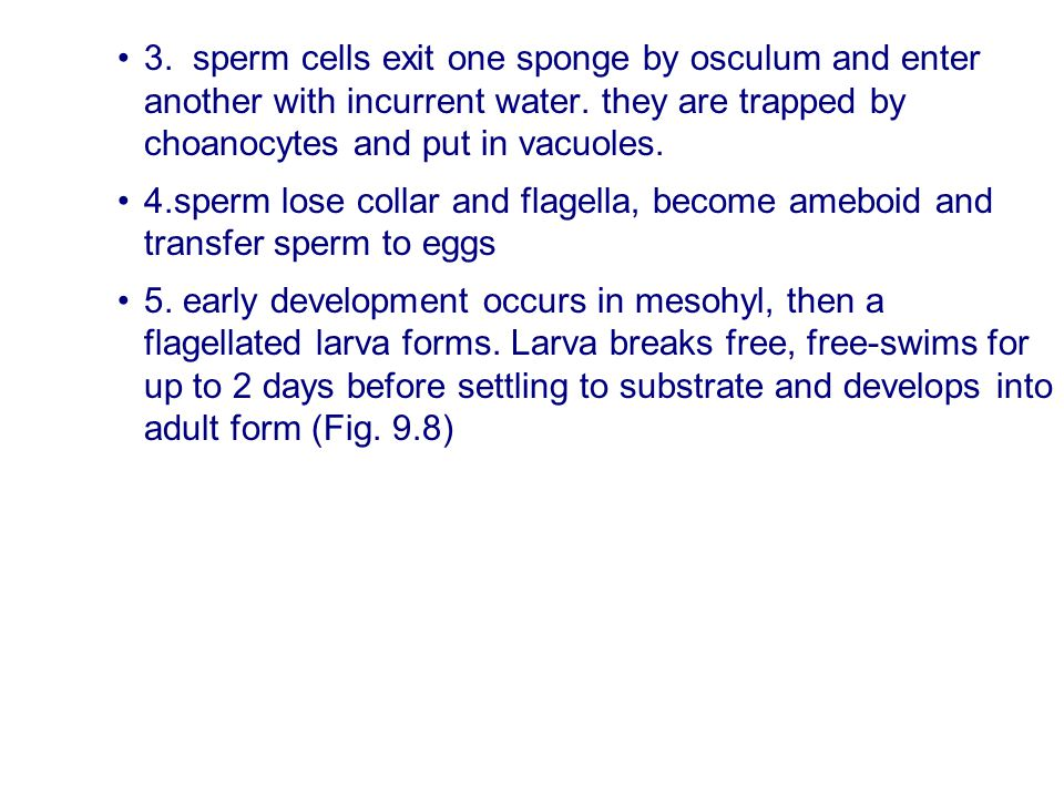3. sperm cells exit one sponge by osculum and enter another with incurrent water. they are trapped by choanocytes and put in vacuoles.