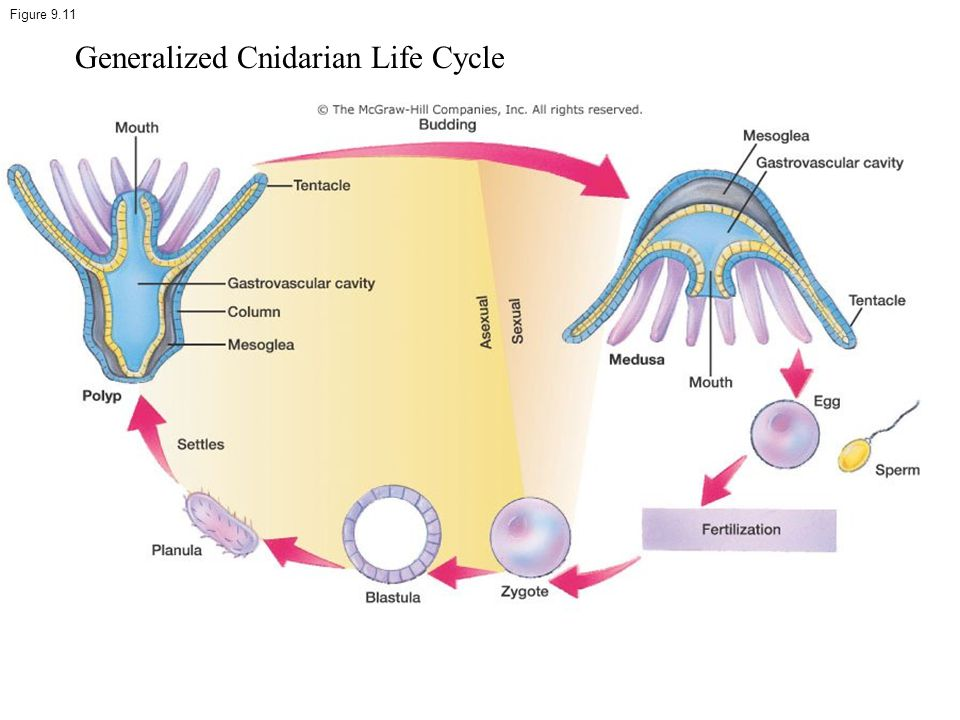 Generalized Cnidarian Life Cycle