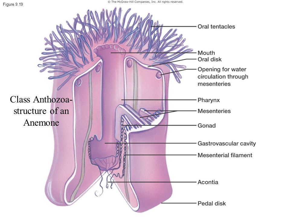 Class Anthozoa- structure of an Anemone