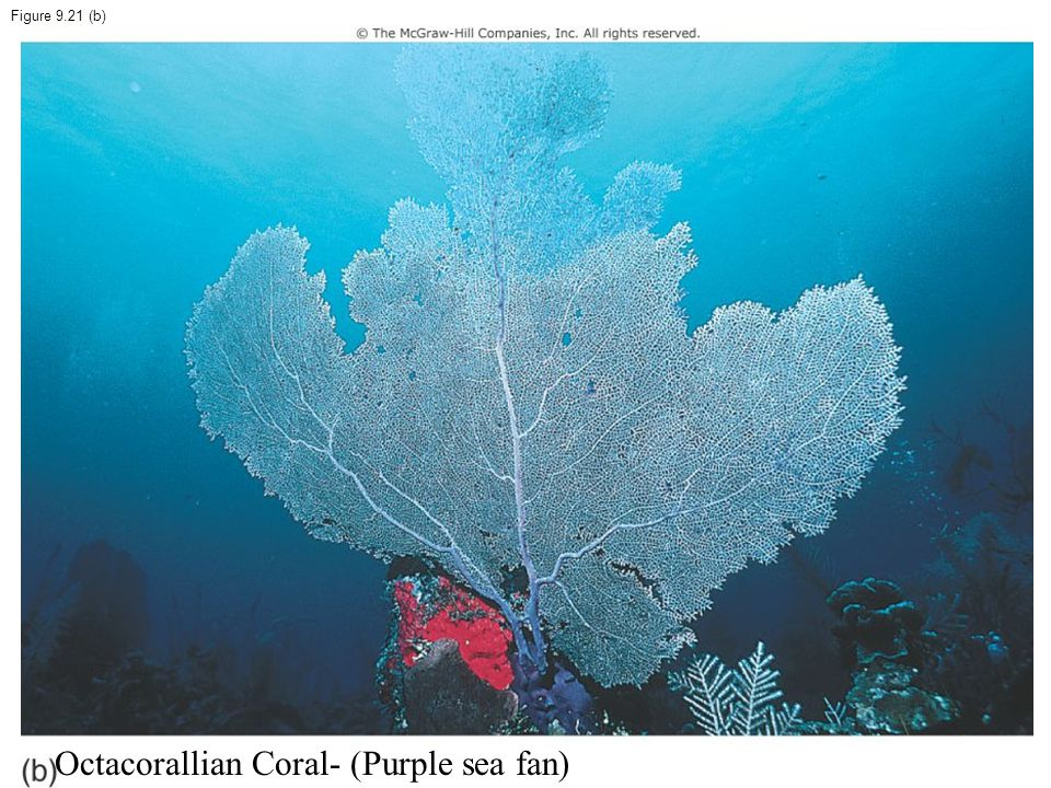 Octacorallian Coral- (Purple sea fan)