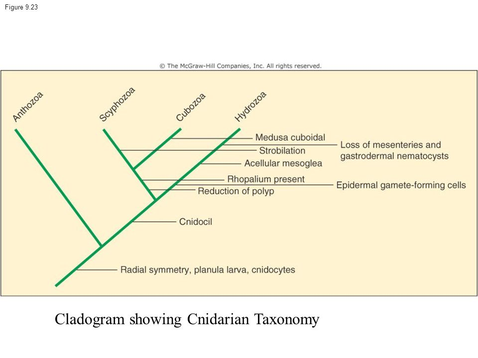 Cladogram showing Cnidarian Taxonomy