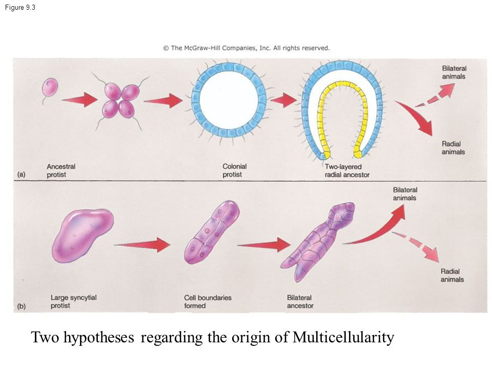 Two hypotheses regarding the origin of Multicellularity