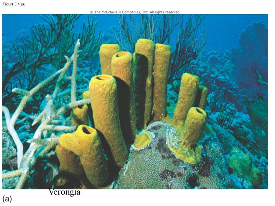 Figure 9.4 (a) Verongia