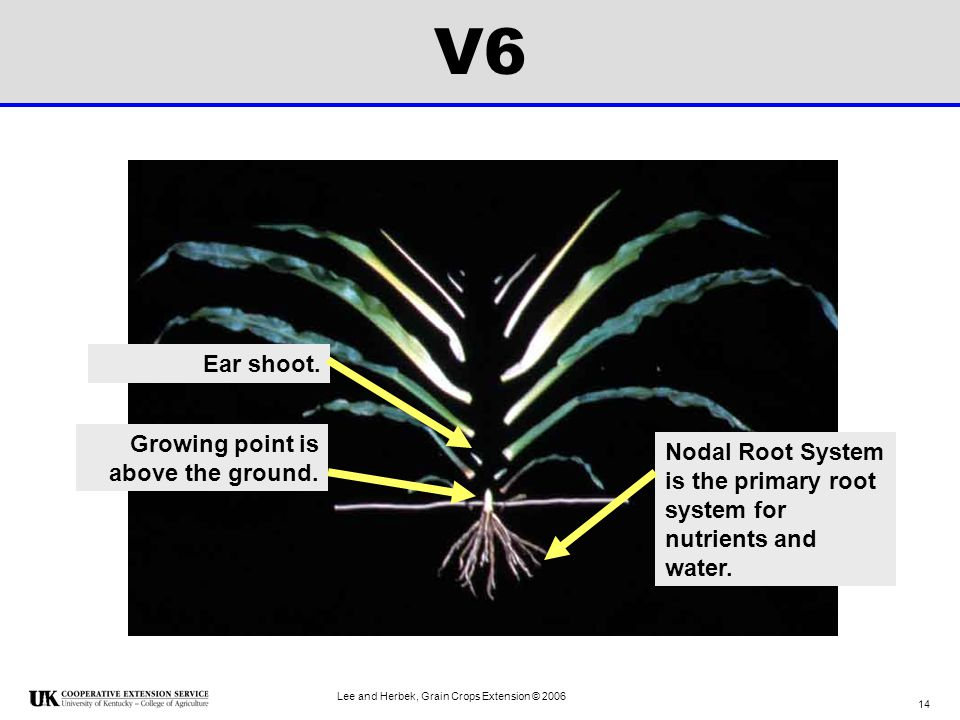 V6 Ear shoot. Growing point is above the ground.