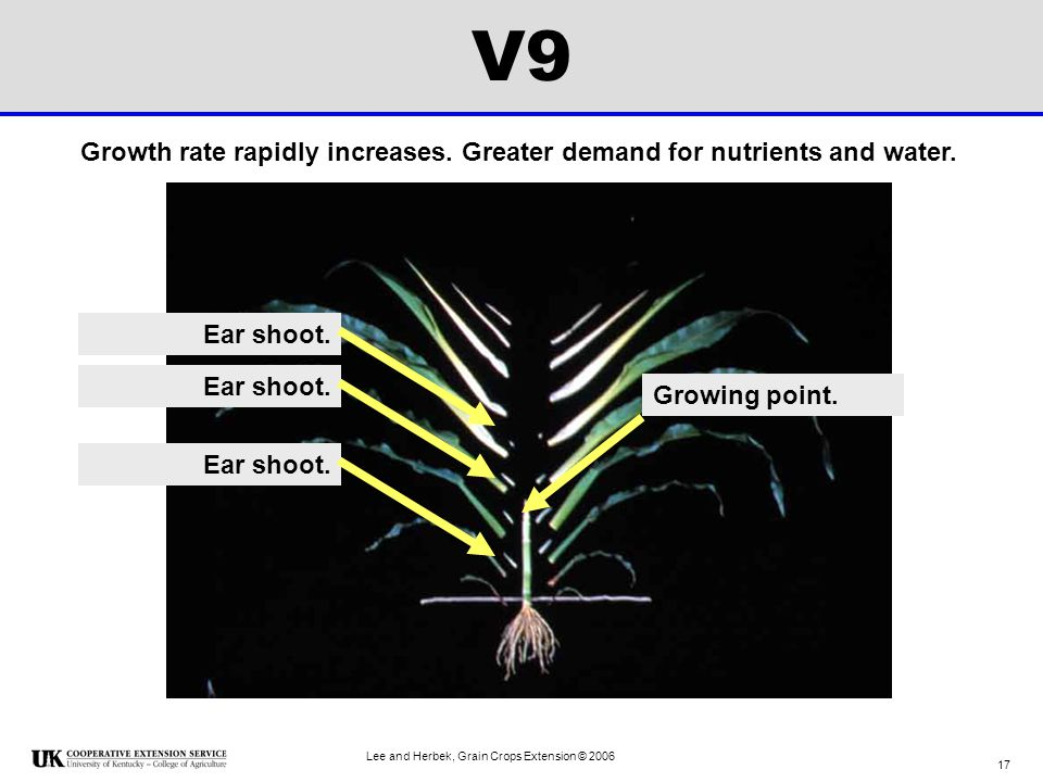V9 Growth rate rapidly increases. Greater demand for nutrients and water. Ear shoot. Ear shoot. Growing point.