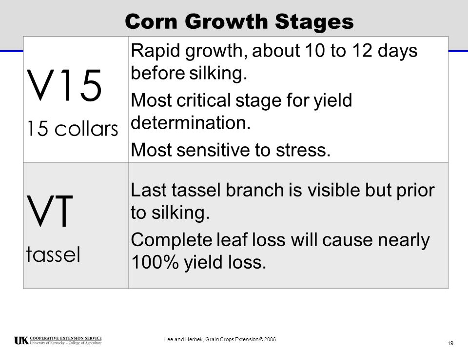 V15 VT Corn Growth Stages 15 collars tassel
