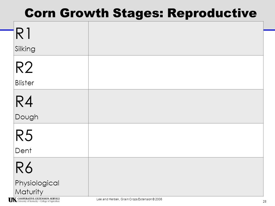Corn Growth Stages: Reproductive