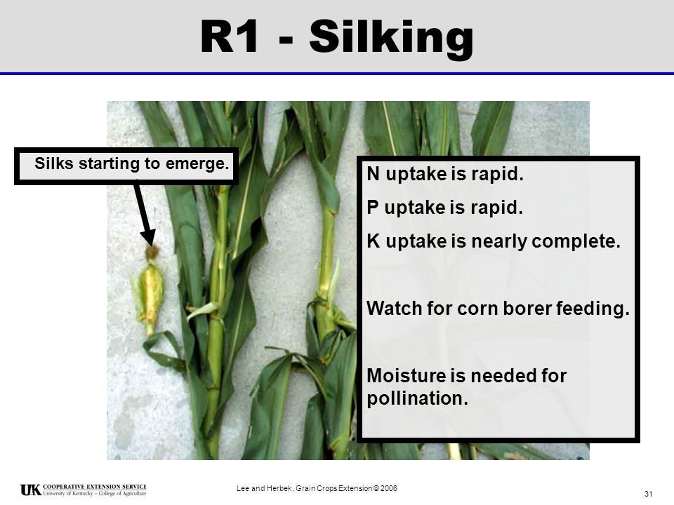 R1 - Silking N uptake is rapid. P uptake is rapid.
