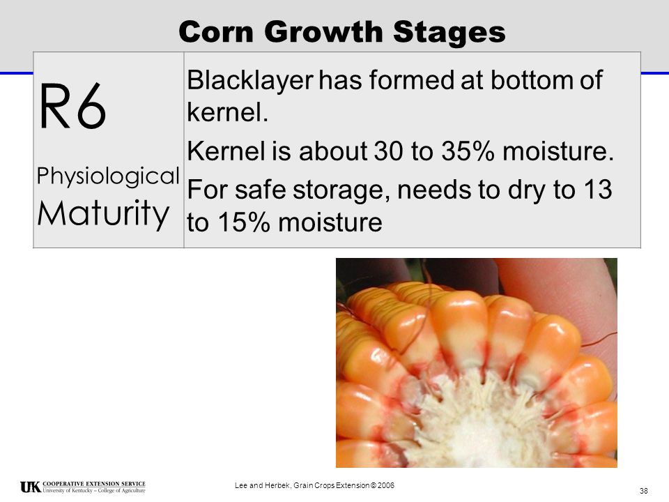 R6 Corn Growth Stages Blacklayer has formed at bottom of kernel.