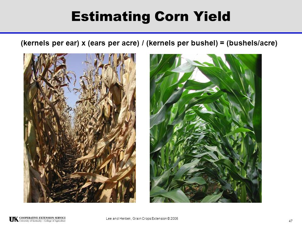 Estimating Corn Yield (kernels per ear) x (ears per acre) / (kernels per bushel) = (bushels/acre) Lee and Herbek, Grain Crops Extension © 2006.