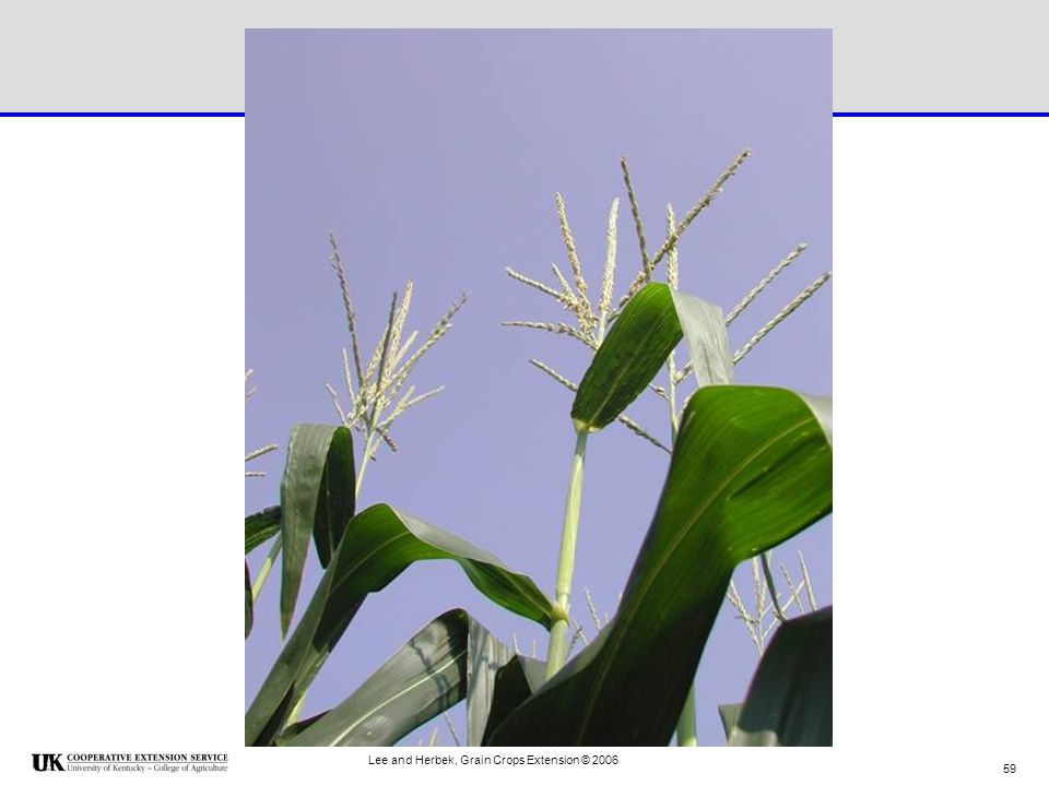 Lee and Herbek, Grain Crops Extension © 2006
