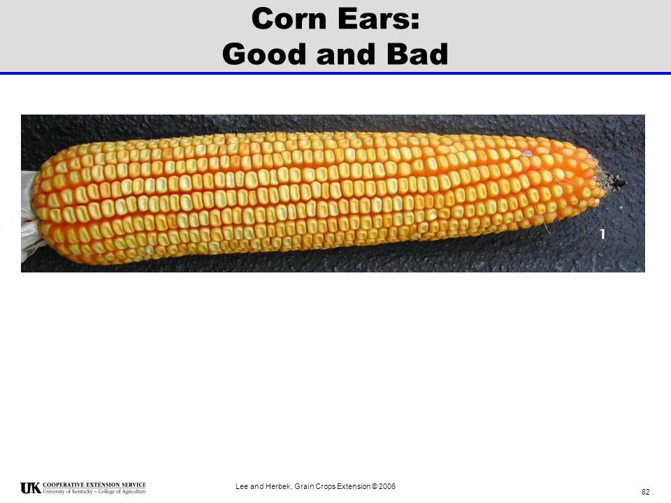 Corn Ears: Good and Bad 1 Lee and Herbek, Grain Crops Extension © 2006
