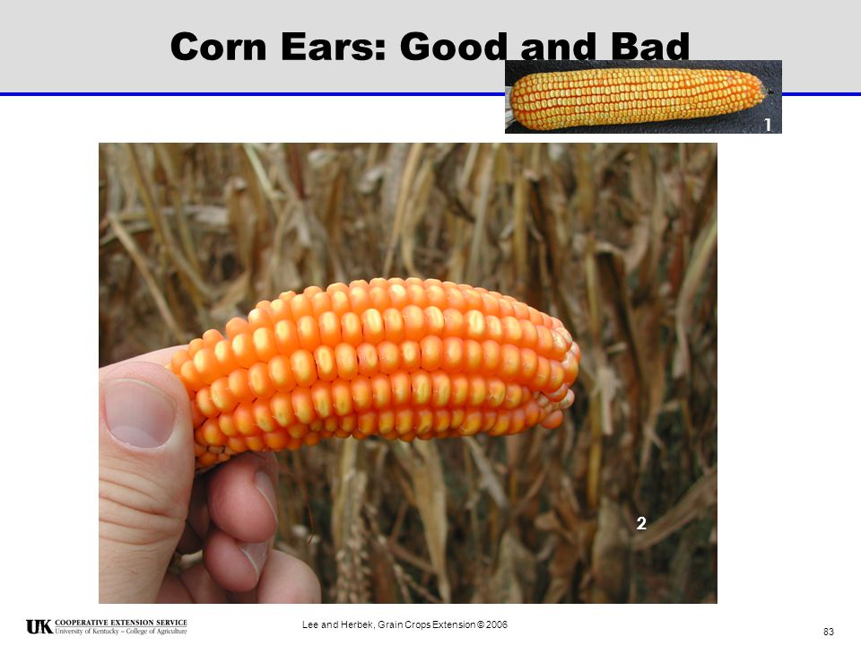 Corn Ears: Good and Bad 1 2 Lee and Herbek, Grain Crops Extension © 2006