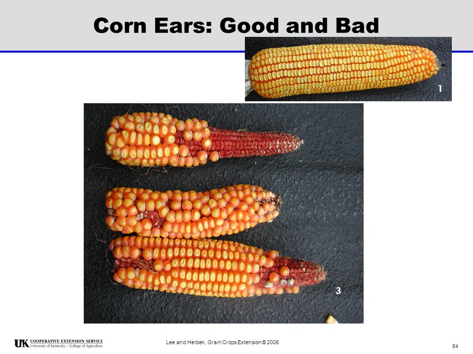 Corn Ears: Good and Bad 1 3 Lee and Herbek, Grain Crops Extension © 2006
