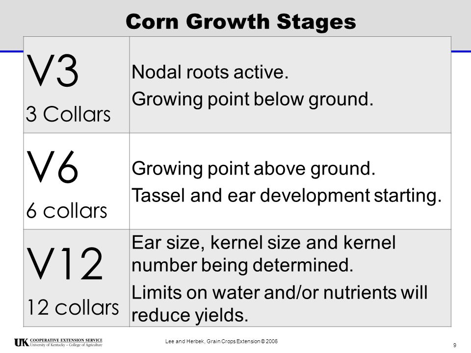 V3 V6 V12 Corn Growth Stages 3 Collars 6 collars 12 collars