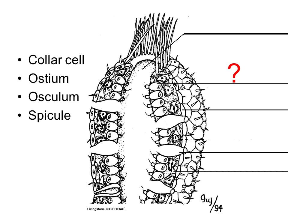 Collar cell Ostium Osculum Spicule Choanocyte or collar cell