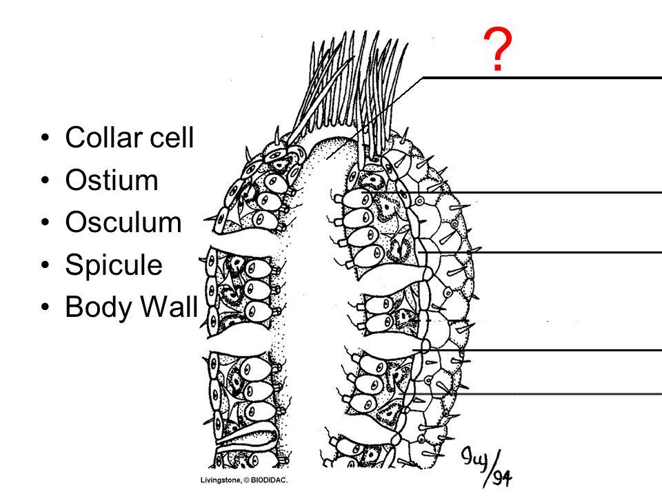 Collar cell Ostium Osculum Spicule Body Wall