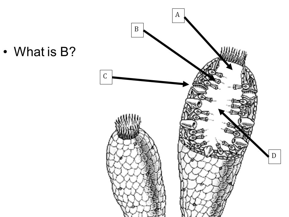 C B A D What is B Choanocyte or collar cell