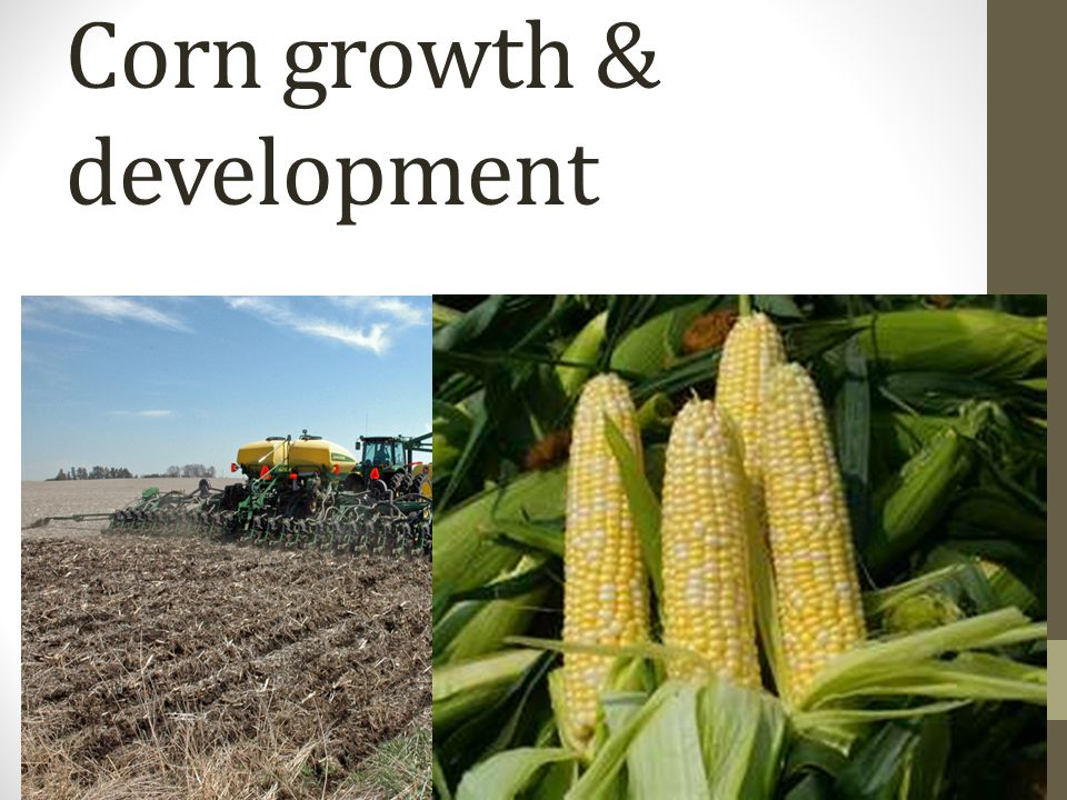 Corn growth & development
