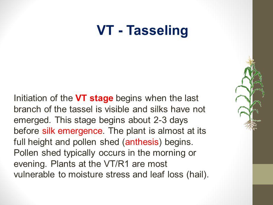 VT - Tasseling