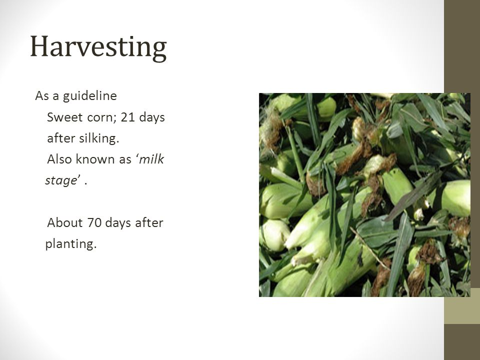 Harvesting As a guideline Sweet corn; 21 days after silking.